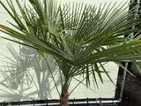 Trachycarpus Fortunei 40 - 50cm stamhoogte