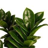 Decorum Livistona Rotendifolia (Decorum Livistona Rotendifolia)_