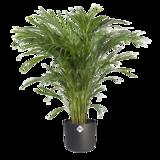 Areca Dypsis in ® ELHO b.for soft sierpot (Areca Dypsis)_