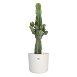 Euphorbia cactus in ® ELHO b.for soft sierpot (Euphorbia)_