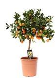 Citrus Calamondin (CAL P22)_