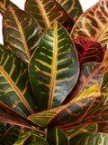 Croton Petra (Croton Petra)_