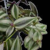 Decorum Tradescantia zebrina 'Purpusii' (Decorum Tradescantia zebrina 'Purpusii')_
