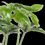 Philodendron Green Wonder (Philodendron Green Wonder)_