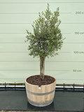 Olea Europea - Olijfboom, stamomvang 80 - 100cm in half wijnvat