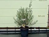 olijf struikvorm 90cm
