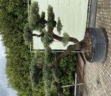 Olea Europea - Olijfboom pon-pon, stamomvang 100 - 110cm