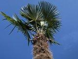 trachycarpus fortunei stamhoogte 350cm