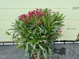 Rode Oleander - Nerium Oleander - 100 cm