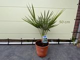 Europese Dwergpalm - Chamaerops Humilis 60cm