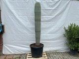 pachycereus pringlei 230cm