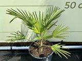 Wagnerpalm - Trachycarpus Wagnerianus 50 cm