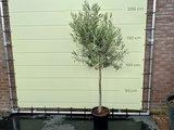 Olijfboom op gladde stam, 200cm, stamomvang 12 - 14cm