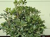 Australische Laurier - Pittosporum Tobira 75 cm