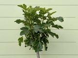 Vijgenboom - Ficus Carica 225 cm, stamomvang 14-18cm, zoete donkere vijg