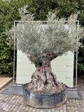 olijfboom stamomvang 180 - 230cm