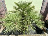 chamaerops humilis 230cm stamhoogte 90cm