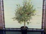 Olijfboom gladde stam stamomvang 20 - 40cm