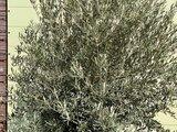 olijfboom stamomvang 120 -140cm