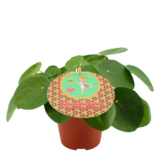 Duo Pilea Peperomioides (PILPEP12P)_