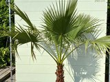 washingtonia robusta 50-60 stam