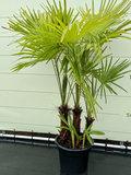 Trachycarpus Fortunei - MULTISTAM stamhoogte 30-60 cm