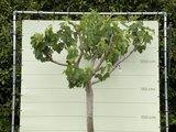 Vijgenboom stamomvang 30/40cm, zoete groene vijg. 250cm