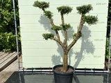 Olea Europea - Olijfboom pon-pon, stamomvang 30-40cm