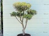 Olijfboom, stamomvang 20-25 cm in half wijnvat