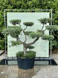Olijfboom pon-pon, stamomvang 40 - 60 cm