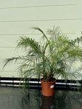 Phoenix Roebelenii stamhoogte 10-30cm