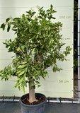 Sinaasappelboom maat XL 180 cm