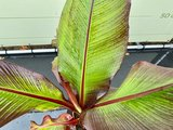 Musa Maurelli - Rode Bananenplant 130 cm_