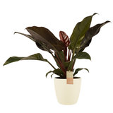 Decorum Philodendron Imperial Red - Elho brussels soap (2403527)_