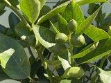 Limoenboom maat L