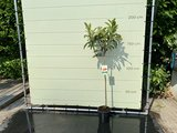 Japanse Wolmispel 200 cm hoog