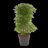 Schefflera Luseana bush (Schefflera Luseana bush)_