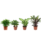 """Ficus, Koffieplant, Dieffenbachia compacta, Calathea (""Ficus Green Kinky, Coffea Arabica,Dieffenbachia Compacta , Calathea Rufibarba)_"