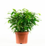 Dieffenbachia Camilla, Coffea Arabica, Syngonium Podophyllum, Ficus benjamina (Dieffenbachia Camilla, Coffea Arabica, Syngonium Podophyllum, Ficus benjamina)_