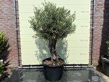 Bonsai Olijfboom - Olea Europea, stamomvang 60 - 80cm
