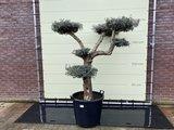 olijfboom pon-pon 40 - 50cm