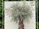 Olea Europea - Olijfboom bonsai stamomvang 100 - 120 cm_