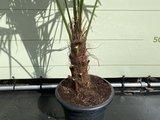 trachycarpus stamhoogte 25 / 30cm