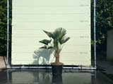Trachycarpus Wagnerianus stamhoogte 30-35  cm _