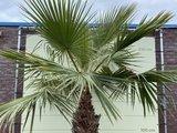 washingtonia robusta 270cm