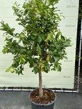 Citroenboom maat XL 200/250 cm_