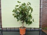 vijgenboom stamomvang 12/14cm, 140cm donkere vijg
