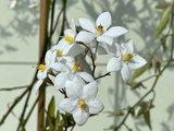 Nachtschade - Solanum Jasminoides 150 cm met witte bloesem_
