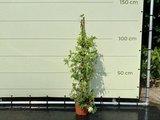 Passiflora Snowqueen piramide wit, bloesem diameter ca. 6 cm