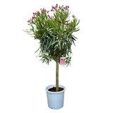 Rode Oleander op stam 80-100cm